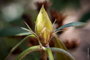 Rhododendron bud